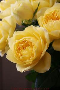Rose, Toulouse, Lautrec