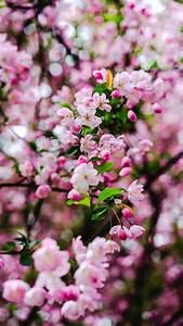 cherry, blossom, wallpaper, 4k, , pink, flowers, , cherry, bloom, , spring, , 5k, , flowers, , , 1110