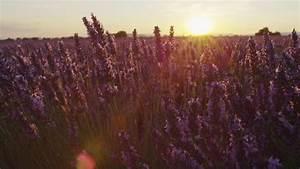 Sunset, Sky, Over, A, Summer, Lavender, Field, Sunset, Over, A, Violet, Lavender, Field, In, Provence, France