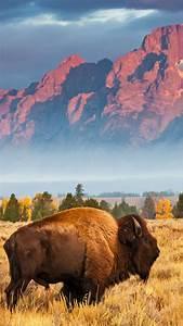 Wallpaper, Bison, Grand, Teton, National, Park, Wyoming, Usa, Bing, Microsoft, 4k, Os, 23142