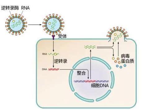 病毒把祖传基因写入我们体内,却让我们更好地活着 RNA 人类基因 ...
