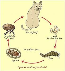 Les parasites externes du chat gale et teigne traités